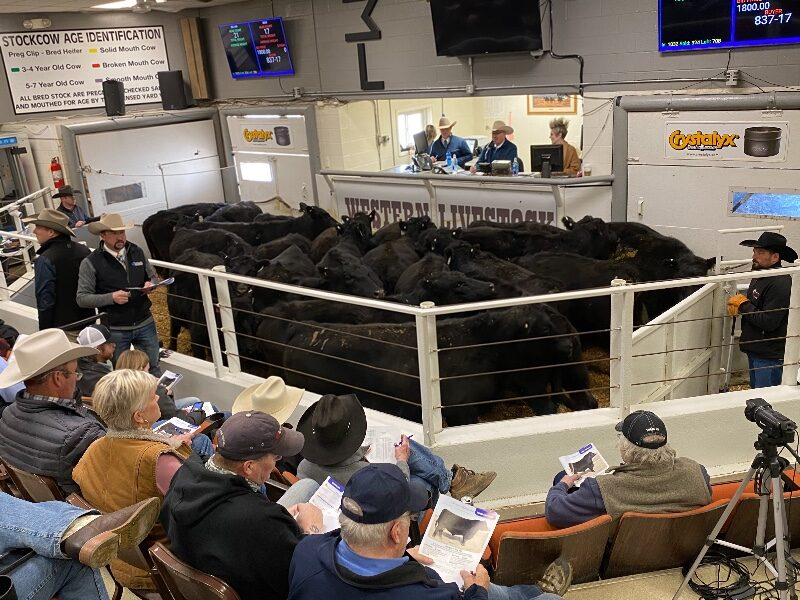 Bobcat Angus 16th Annual Production Sale